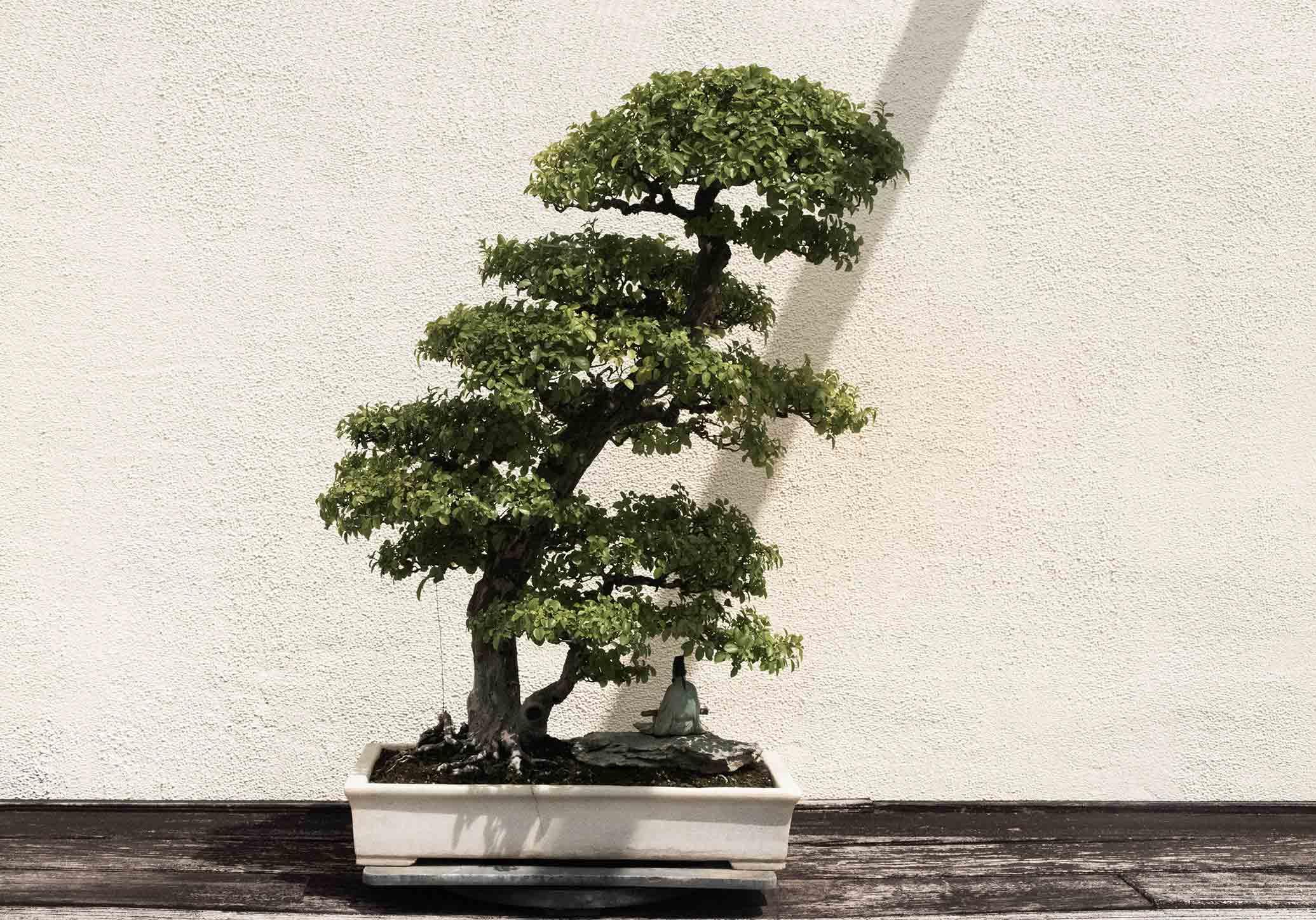 Como cuidar de um bonsai: 8 dicas chave